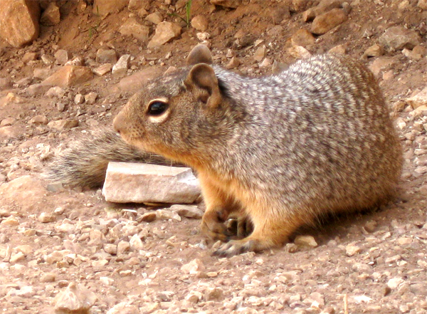Grand Canyon Ground Squirrel Pictures 50